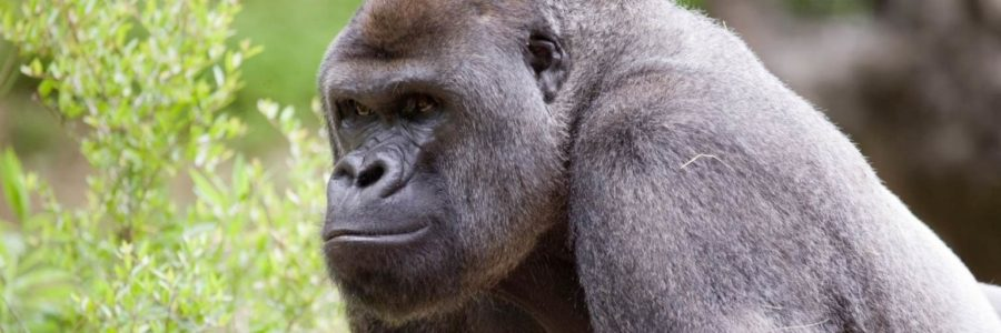 Gorilas del zoológico de Atlanta dan positivo a covid